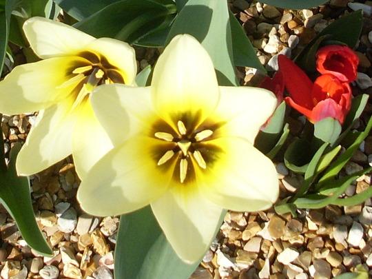 spring 09 tulip concerto