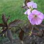 Geranium maculatum 'Espresso' (Geranium maculatum 'Espresso')
