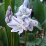 is this called scilla?