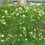 Primrose bank (Primula vulgaris)