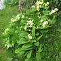 Primroses in grass (Primula vulgaris)