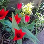 tulip tubergens variety