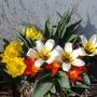tulips  mixed