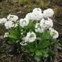 Primula denticulata (Primula denticulata)