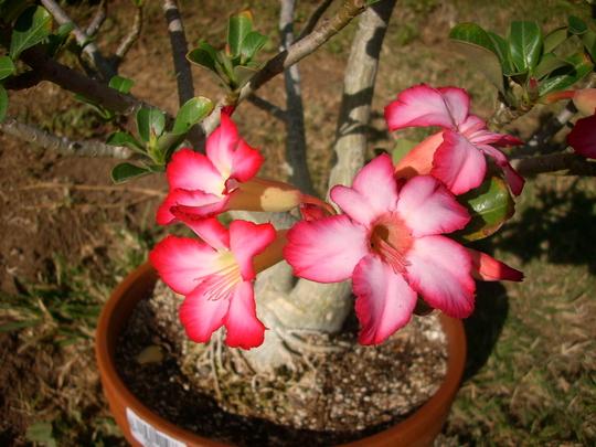 Adenium obesum - Desert Rose Flowers (Adenium obesum - Desert Rose)