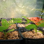 Delonix regia - Royal Poinciana Seedlings