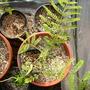 Colvillea racemosa - Colville's Glory (Colvillea racemosa - Colville's Glory)