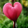 Dicentra Spectabalis {Bleeding Heart}