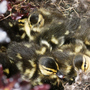 Duckings in the nest - April 2009