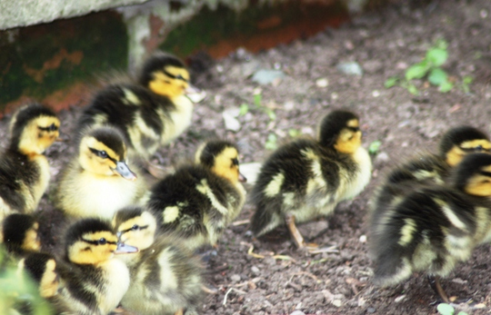 Ducklings take off - April 2009