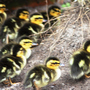 Ducklings take off - April 2009