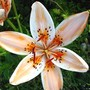 Lily [Orange Electric]
