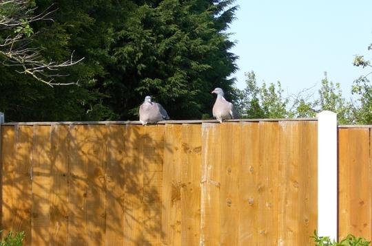 birds at my fence