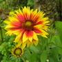 gaillardia... blanket flower...08