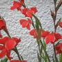 gladioli....08