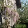 Pink wisteria (Wisteria)