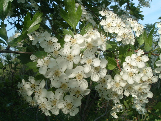 Hawthorn bloom