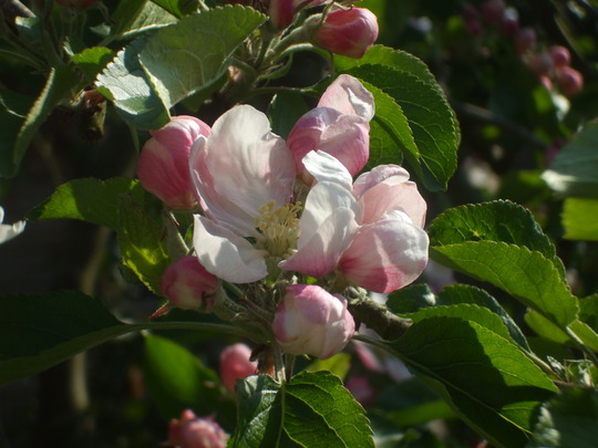 Apple blossom on the little apple tree