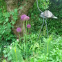 Alliums under the apple tree. (Allium hollandicum)