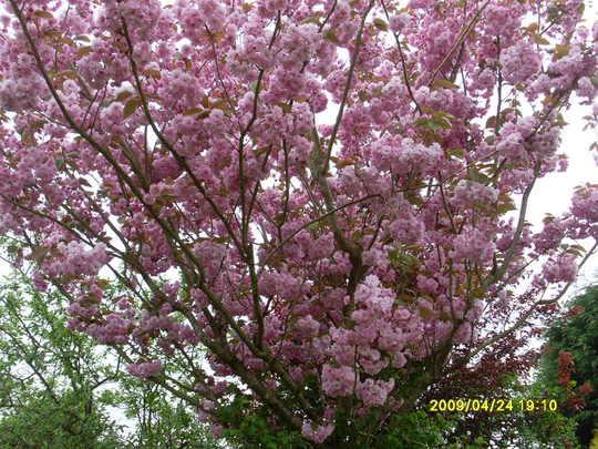 Kanzas Flowering Cherry