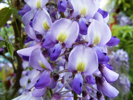 Close up of Wisteria flowers (Wisteria floribunda (Japanese Wisteria))