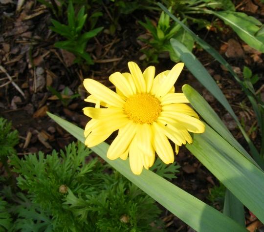 Marguerite otherwise known as Anthemis (Anthemis tinctoria (Golden marguerite))
