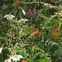 Acidanthera, Artemesia, Zinnia, Cleome,Dill, honeysuckle