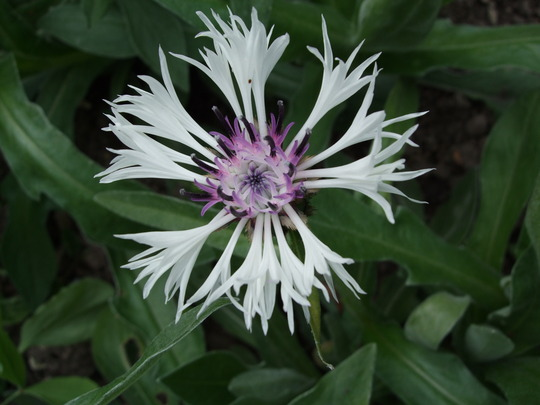 Centaurea montana 'Amethyst in Snow' (Centaurea montana (Berg Centaurie))