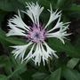 Centaurea_montana_amethyst_in_snow_