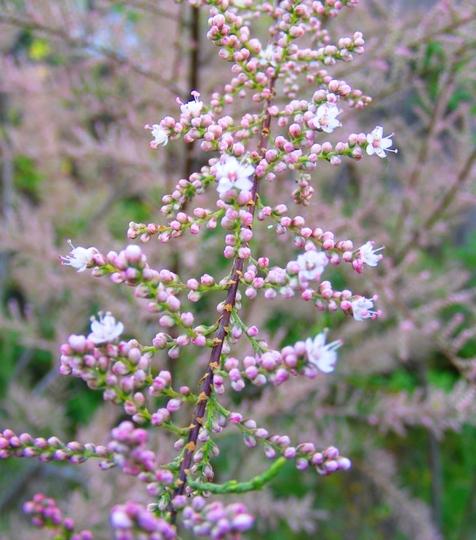 Tamarisk flowers, closer view (Tamarix tetranda)