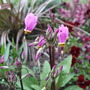 Dodecatheon clevelandii (Shooting star)
