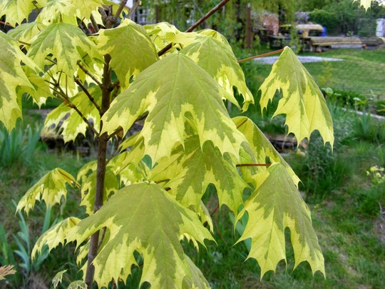 Acer platanoides or Norway maple (Acer platanoides (Norway maple))