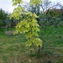 Norway Maple (Acer platanoides (Norway maple))