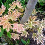 New leaves of Norway Maple (Acer platanoides (Norway maple))