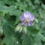 Pale_mauve_geranium_phaeum
