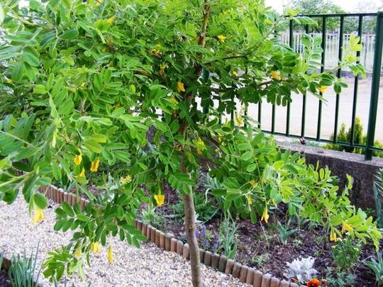 Caragana tree in flower (Caragana arborescens pendula)