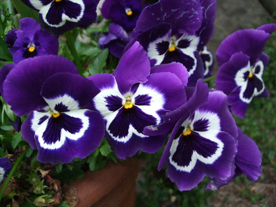 HUGE pansies