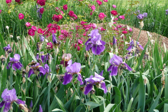 My neighbor's iris bed
