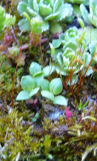 A garden flower photo (Anagallis arvensis)