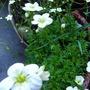Saxifraga arendsii (aizoides) (Saxifraga aizoides (Evergreen Saxifrage))