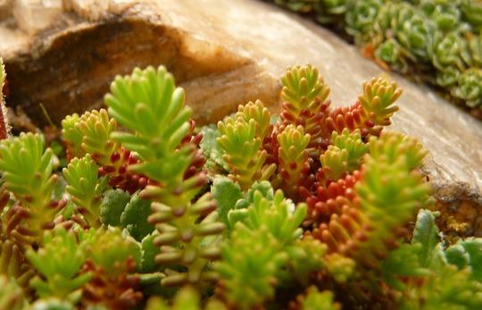 Sedum sexangulare (Sedum sexangulare (Tasteless Stonecrop))