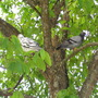 Pigeons perched on a tree branch