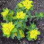 Euphorbia_