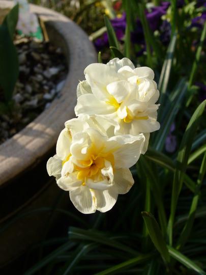 Bridal crown (Narcissus Bridal Crown)