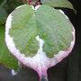 Actinidia_kolomikta_foliage_2009