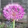 Allium_azureum_2009