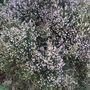 PRETTY HEATHER FLOWERS