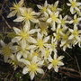 Clematis_x_cartmanii_moonbeam_2009