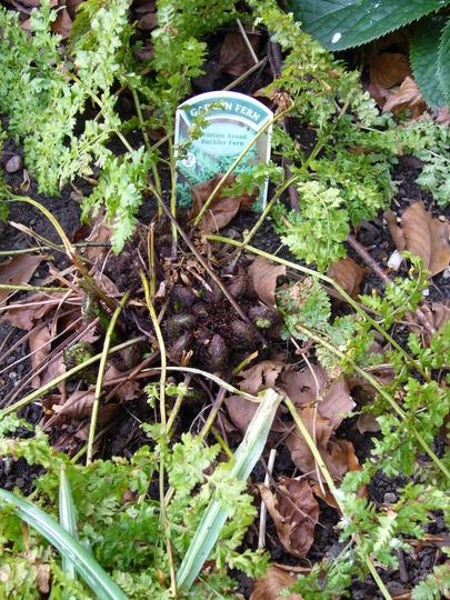 Buckler fern cristate form