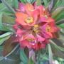 Euphorbia_griffithii_fireglow_2009